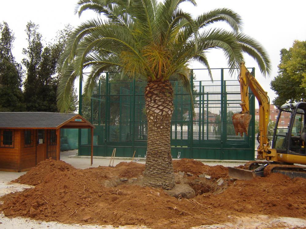 trasplantament palmeres